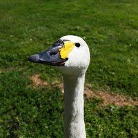 goose egg photo